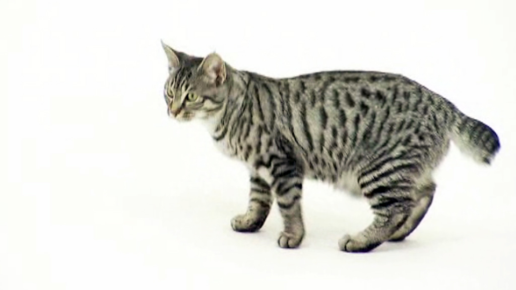 American Bobtail Cat Pictures And Information Cat Breeds Com