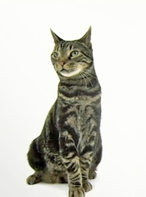 Origin of american shorthair cats