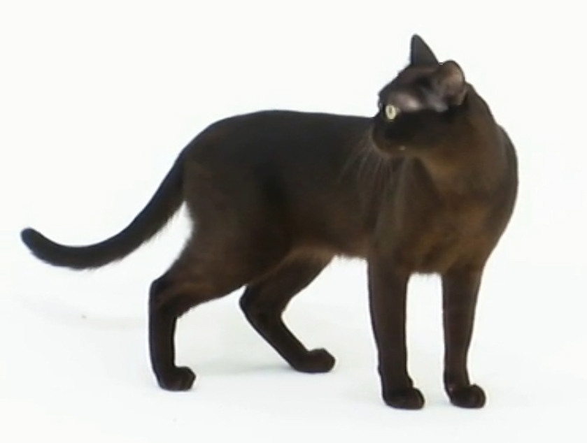 Burmese Cat Pictures And Information Cat Breeds Com