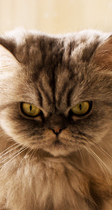 Cat Breeds With Pictures From A Z Cat Breeds Com
