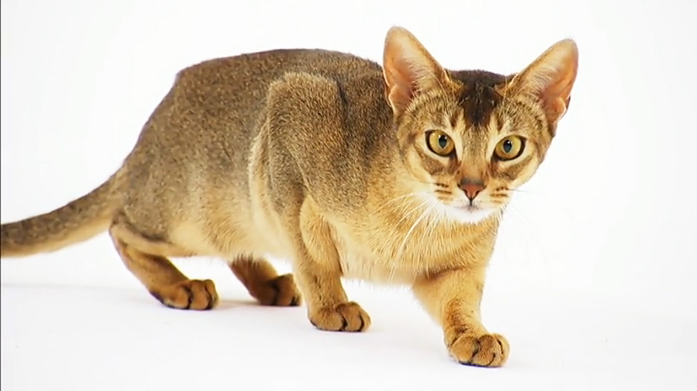 Abyssinian cat Pictures and Information - Cat-Breeds.com
