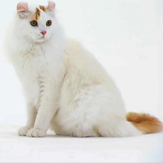 The American Curl Cat