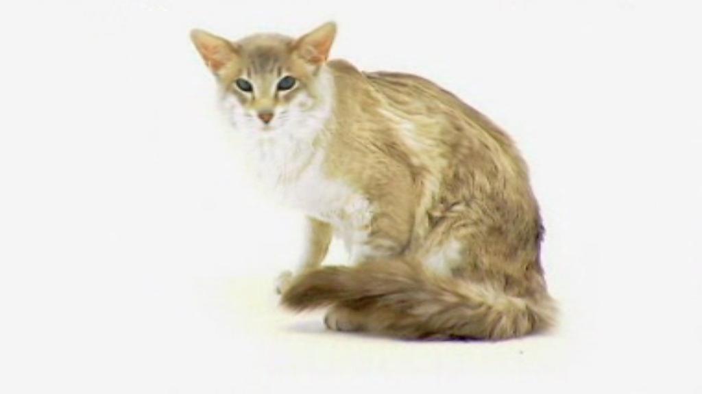 Cat Breed Characteristics Uk