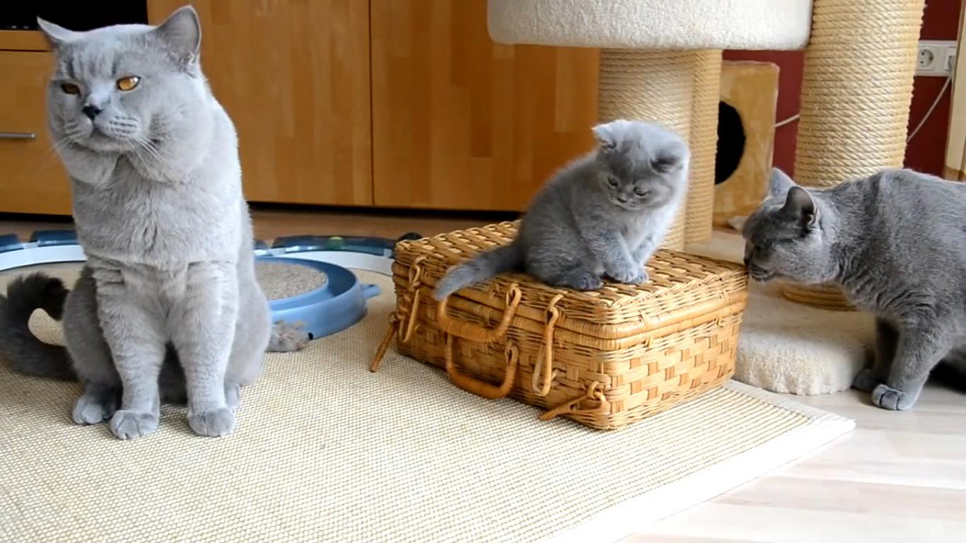 British Blue Cat Breeders