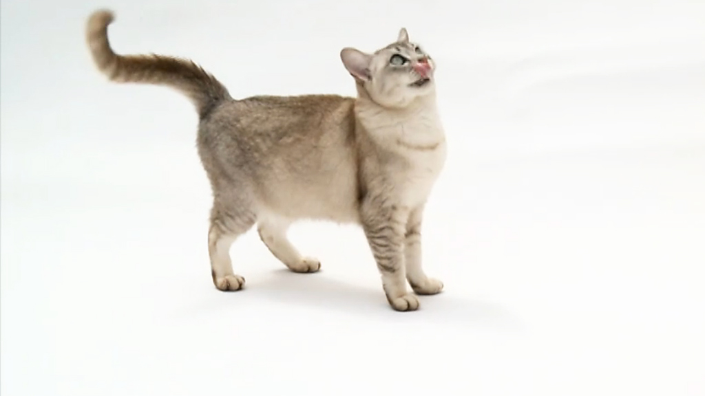 Breed Of Cat Beginning With A